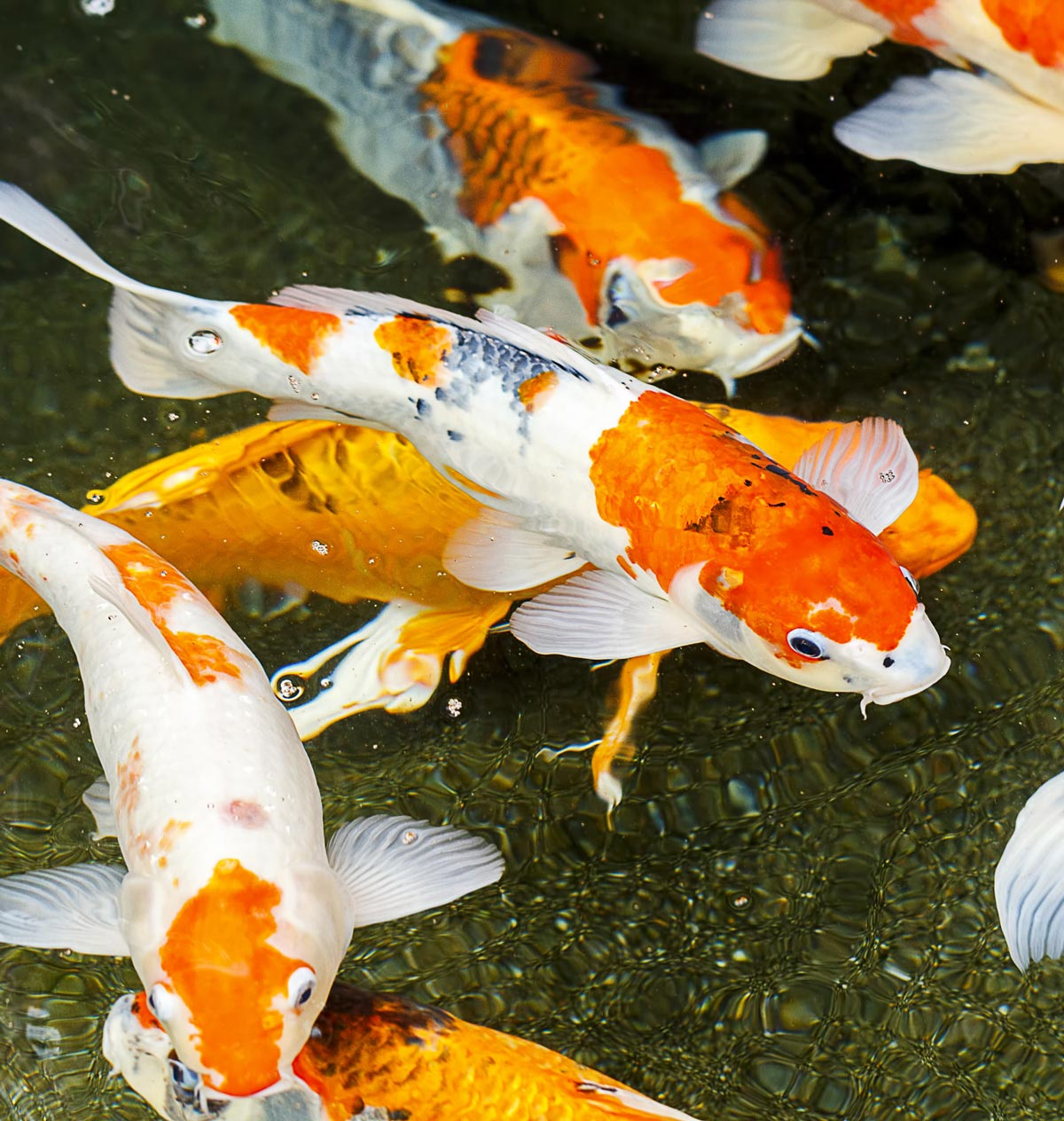 Photograph of a group of Koi fish