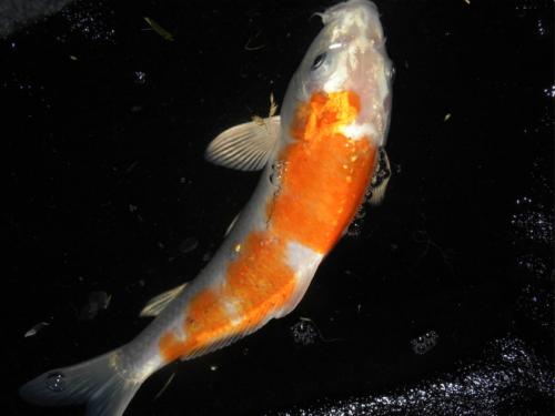 Image of sparkling orange and white kohaku koi fish